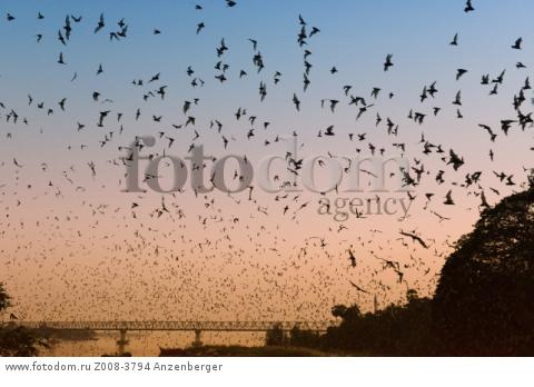 MYANMAR / Kayin State / Hpa-an / Thousands of bats leaving the so-called Bat Cave at dusk and searching for food. Animals swarm out continuously 20 minutes. Thanlwin bridge in the backgroundВ© Mario Weigt / Anzenberger