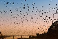 MYANMAR / Kayin State / Hpa-an / Thousands of bats