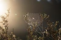 Spiderweb with dew, morning, Bavaria, Germany, Eur