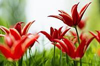 Blooming tulip meadows in spring, Mainau Island, L