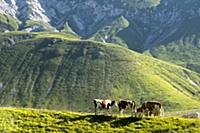 In summer cattle roam the gigh plains of the Campo