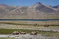 Camels in the Pamir, Afghanistan, Asia