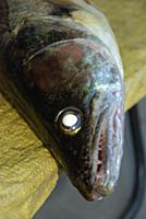 Голова рыбы.