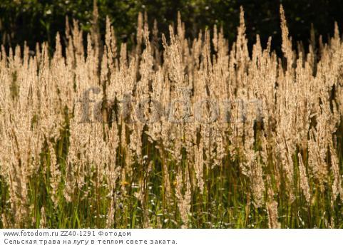 Сельская трава на лугу в теплом свете заката.