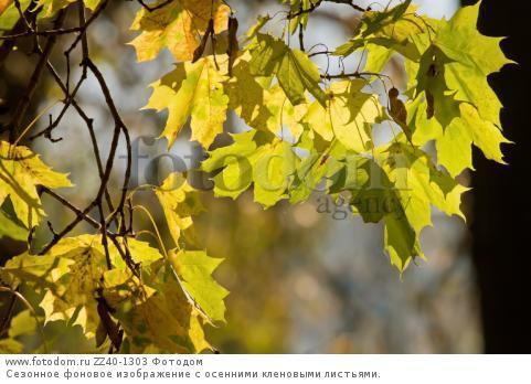 Сезонное фоновое изображение с осенними кленовыми листьями.