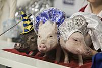 Микро-пиги. Пресс-конференция Главного Деда Мороза