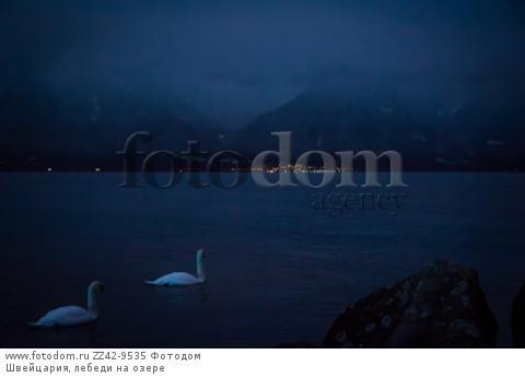 Швейцария, лебеди на озере