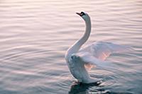 Белый лебедь на озере