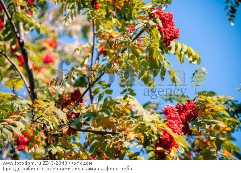 Гроздь рябины с осенними листьями на фоне неба