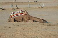 Тунис. На снимке: Верблюд в пустыне Сахара.