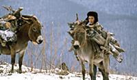 Мальчик и ослы. В горах Чечни и Ингушетии. СССР. 1