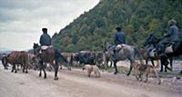 Пастухи гонят стадо. В горах Чечни и Ингушетии. СС