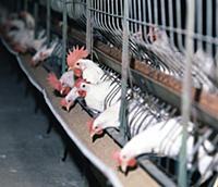 Щёкинская птицефабрика. На земле Тульской. 1974-19