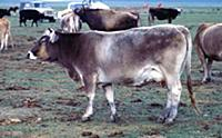 Монголия: Сельское хозяйство, животноводство.  198